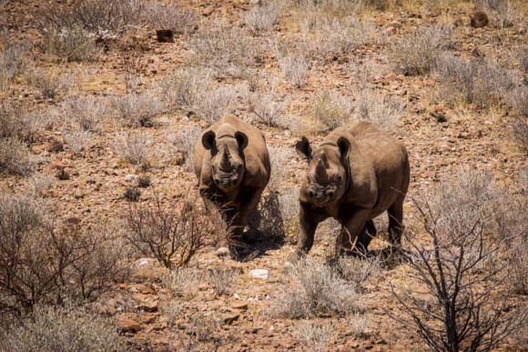 Desert-adapted black rhino tracking