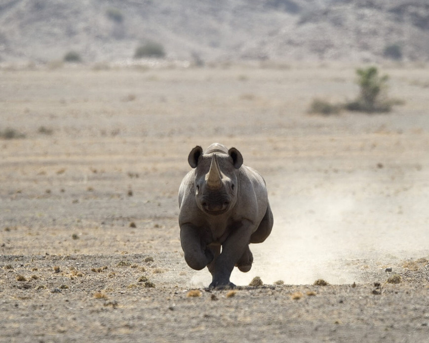"Track endangered desert-adapted black rhino at <strong class=""text-green"">Huab Under Canvas</strong>"