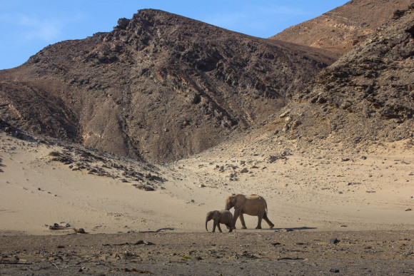 Desert-adapted elephant tracking