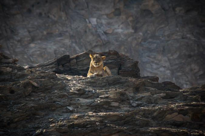 Desert Lion Project