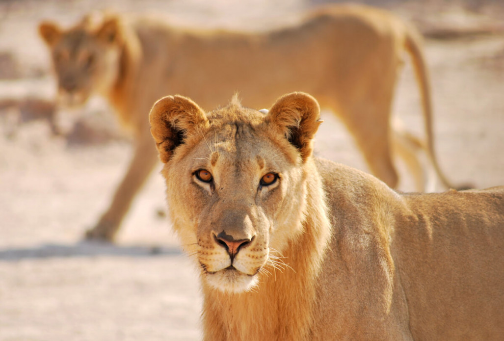 Desert Lion Conservation